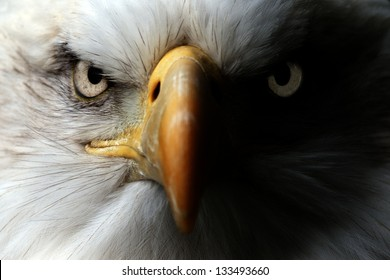Eagle Close Up Portrait
