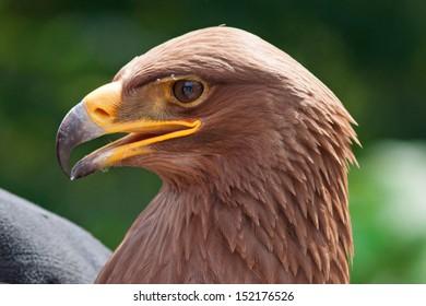 Eagle closeup