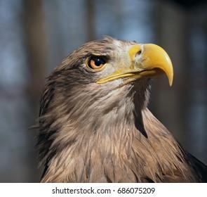 Eagle dangerous portrait head looking up