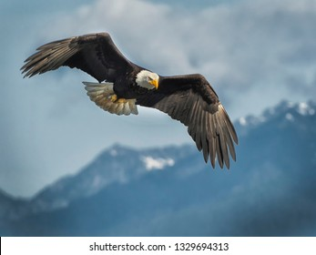 The Eagle dominates the sky as in his birthright; with wings spreading broad as they are black. His head white in the sunlight, bright as the clouds he soars through.