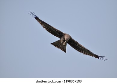 An eagle eating its food while gliding in the sky