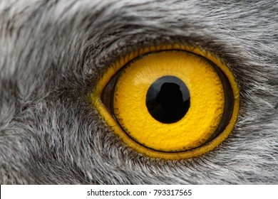 eagle eye close-up, macro photo, eye of the male Northern Harrier.