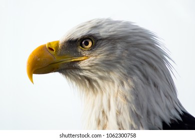 Eagle Face Close-up