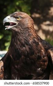 Eagle face profile