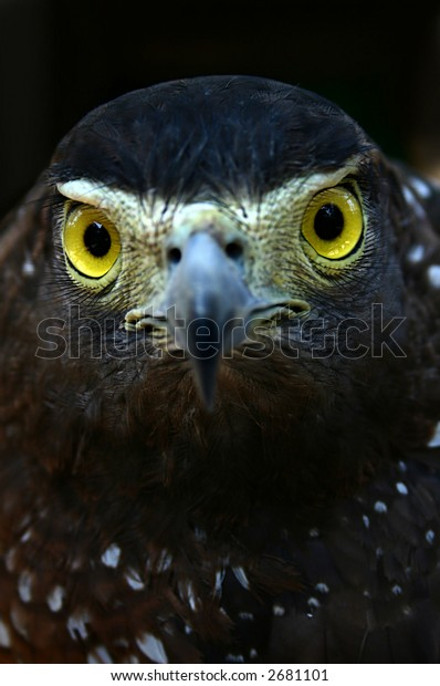 an eagle with a fierce stare