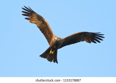 The eagle flies in the blue sky, waving its wings and looking around