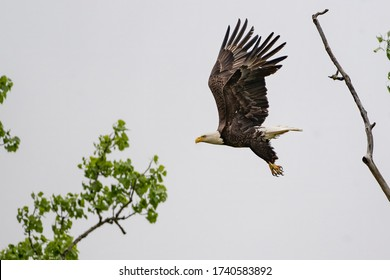 An eagle flies with great ease in the air near its nest.