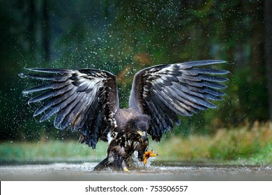 Eagle in flight above the dark lake. White-tailed Eagle, Haliaeetus albicilla, flying above the water, bird of prey with forest in background, animal in the nature habitat, wildlife, Norway.
