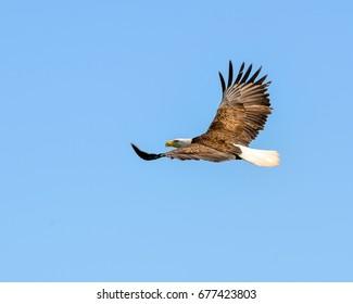 An Eagle in Flight In Canada