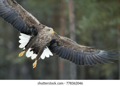 Eagle in flight closeup. Eagle wings wide open.