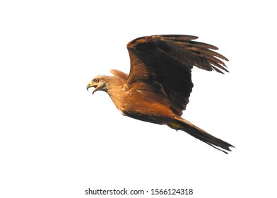 The eagle in flight opened its beak in a scream and brakes, rear up  , like a horse, isolated, close-up.