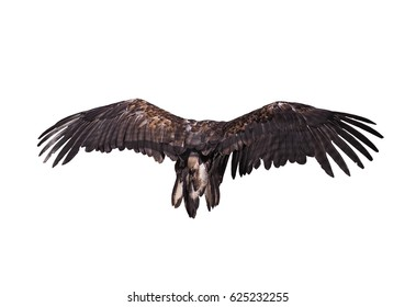 Eagle in flight view from back big plumage isolated at the white