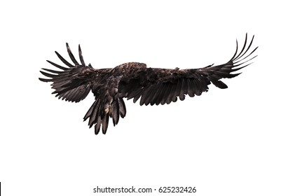 Eagle in flight view from back isolated at the white