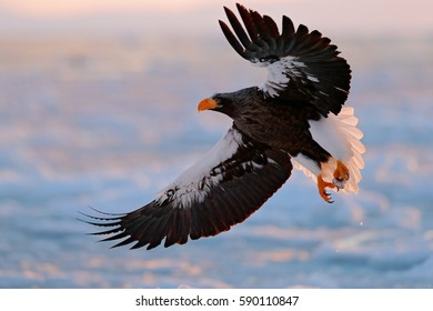 Eagle flying above the sea. Beautiful Steller's sea eagle, Haliaeetus pelagicus, flying bird of prey, with blue sea water, Hokkaido, Japan. Wildlife action behavior scene from nature.