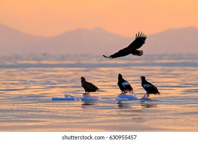 Eagle flying above the sea. Beautiful Steller's sea eagles, Haliaeetus pelagicus, bird of prey with sea water, Hokkaido, Japan. Wildlife action behavior scene, nature.