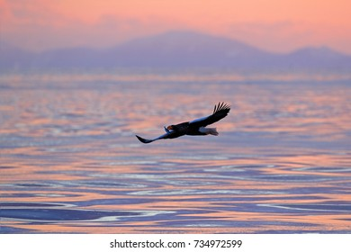 Eagle flying above the sea. Beautiful Steller's sea eagle, Haliaeetus pelagicus, with sea water, Hokkaido, Japan. Wildlife action behavior scene, nature. Morning light with flying with bird of prey.