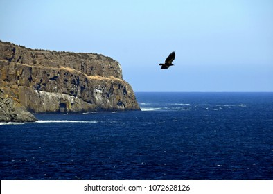 Eagle flying across the ocean with a large cliff and the ocean in the background, near Torbay Newfoundland, Canada