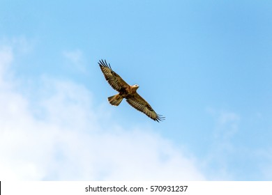 eagle flying in the blue sky. Imperial Eagle in flight. Shaving flying eagle on a background of blue sky. Eagle, hawk looking for prey. Flying birds of prey during a hunt
