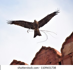 Eagle flying with a brunch for a nest