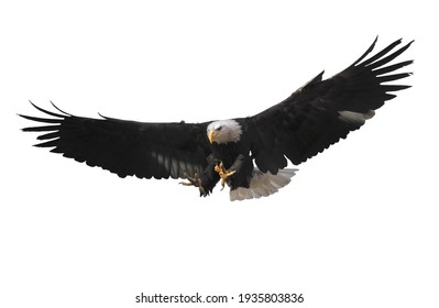 Eagle flying isolated at white
