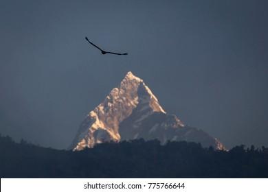 Eagle flying over sacred mountain of Himalaya, Machapuchare peak. Nepal