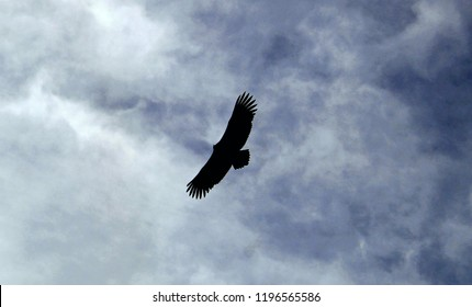 Eagle flying in the sky of pondicherry (puducherry), India.