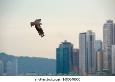 Eagle flying in sunset sky over the Victoria Harbour in Hong Kong, China with skyscrapers on blurred background