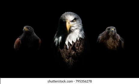 An Eagle with a Harris & Red-Tailed Hawk Intense Isolated Portrait