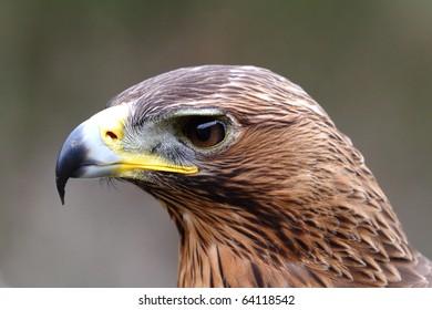 eagle hawk close up