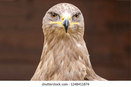 Eagle hawk portrait. Eagle hawk. Eagle hawk eyes. Eagle hawk head