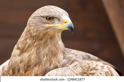 Eagle hawk portrait. Eagle hawk. Eagle hawk head. Eagle hawk looking