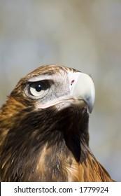 Eagle Head Shot