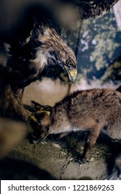 eagle hunting a fox - embalmed