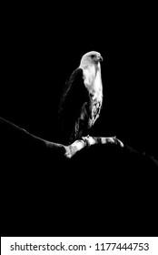 eagle isolated on black background