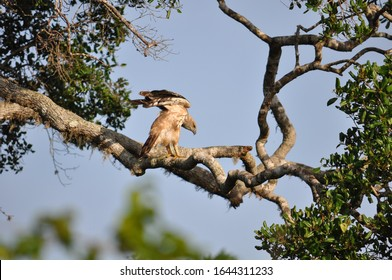 eagle landing on a branch with wings out