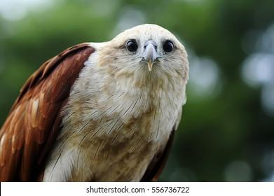 Eagle, Lesser Fish (Ichthyophaga humilis)