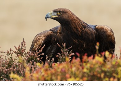 Eagle looking fierce. A magnificent golden eagle puts on a fierce look as it stands amongst moorland vegetation.