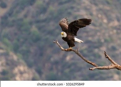 Eagle at Los Angeles foothills