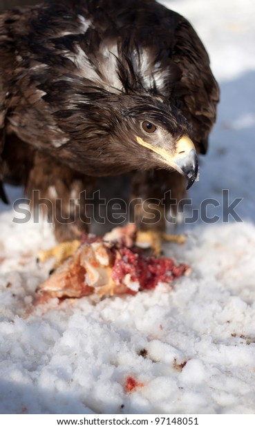 eagle for a meal in the zoo