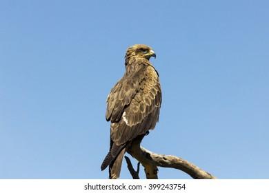 Eagle on the blue sky background