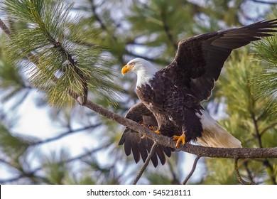 Eagle on branch spreads wings in Coeur d'Alene, Idaho.