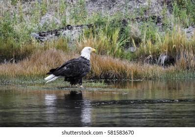 Eagle on Riverbank