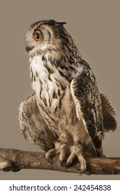 EAGLE OWL 2.  A well lit studio shot of an eagle owl perched on a branch