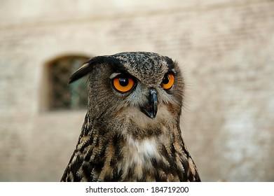 the eagle owl.