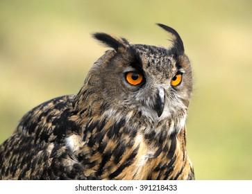 eagle owl - Shutterstock ID 391218433