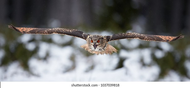 Eagle owl, Bubo bubo, biggest european owl flying  directly to camera with fully outstretched wings and opened beak against snowy background. Eagle-owl in winter european forest. Czech highlands.