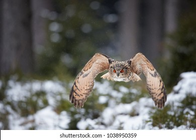 Eagle owl, Bubo bubo, biggest european owl flying directly to camera against blurred snowy birches in background. Eagle-owl with bright orange eyes lit by setting sun in  Czech highlands.