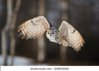 Eagle owl, Bubo bubo, biggest european owl flying next to camera against abstract snowy birches background. Eagle-owl with bright orange eyes lit by setting sun in european forest. Czech highlands.