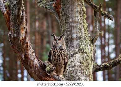 Eagle owl, bubo bubo in the forest