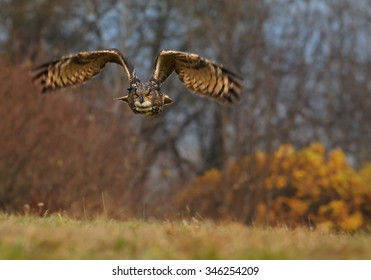 Eagle owl, Bubo bubo, large owl flying directly at camera with outstretched wings, low to the ground against orange autumn background. Owl with bright orange eyes in european forest. Czech highlands.